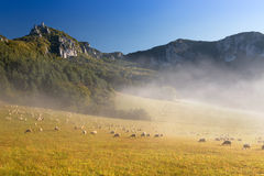 Sheeps (Ovis aries) Stock Image