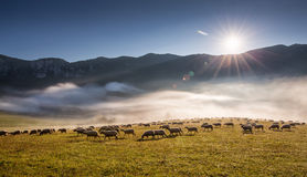 Sheeps (Ovis aries) Royalty Free Stock Photo