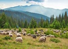 Sheeps på ängen Fotografering för Bildbyråer