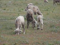 Sheeps på ängen Royaltyfria Foton