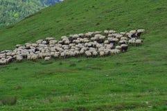 Sheeps på ängen Arkivfoto