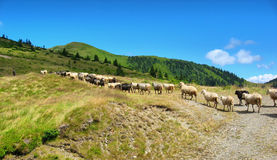 Sheeps på ängen i berg Arkivbild