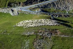 Sheeps på berget royaltyfri fotografi