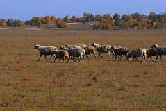 Sheeps på en äng Royaltyfria Bilder