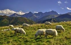 Sheeps på en äng Arkivbild