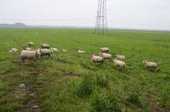 Sheeps på en jordbruksmark Fotografering för Bildbyråer