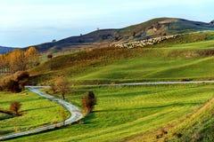 Sheeps på en kulle i Viscri Arkivbild