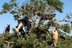 Sheeps på ett arganträd nära Taghazout Marocko Arkivfoto