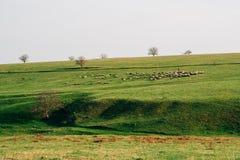 Sheeps på fält arkivfoton