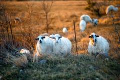 Sheeps på fältet på solnedgången Arkivfoton