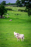 Sheeps på gräsplan betar i område sjön, UK Royaltyfri Foto