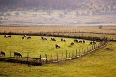 Sheeps på Romanija fotografering för bildbyråer