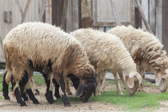 Sheeps in  a paddock  farm. Royalty Free Stock Image