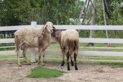 Sheeps in a paddock farm. Stock Image