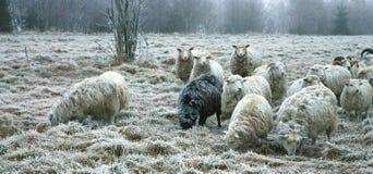Sheeps par le début de l'hiver Photo libre de droits