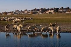 Sheeps par le lac Photos stock