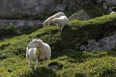 Sheeps pasa na skałach obraz stock