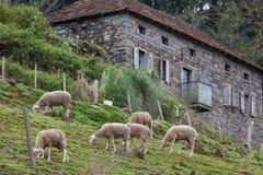 Sheeps pasa z drylują dom w tle Zdjęcie Stock