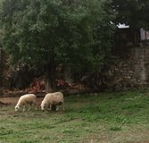 Sheeps on pasturage Royalty Free Stock Image