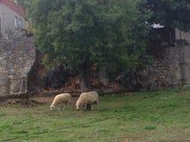 Sheeps on pasturage Stock Photography