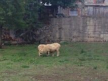 Sheeps on pasturage Royalty Free Stock Photo