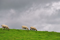 Sheeps in pasture Royalty Free Stock Photo