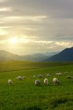 Sheeps on pasture Royalty Free Stock Photo