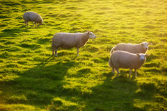 Sheeps on pasture Stock Photos
