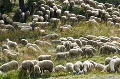 Sheeps at pasture. Herd of sheep grazing in the meadow Stock Photos