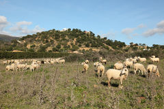 Sheeps on a pasture Stock Photos