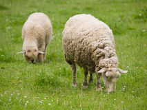 Sheeps on pasture Royalty Free Stock Image