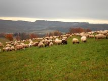 Sheeps in Pasture. An overview of sheeps in pasture, Germany royalty free stock images