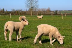 Sheeps pasture. Sheeps in a meadow, eating the grass Royalty Free Stock Images