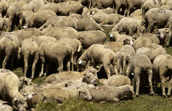 Sheeps in a pasture Stock Image