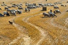 Sheeps at pasture in Aragon Royalty Free Stock Photos