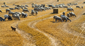 Sheeps at pasture in Aragon Stock Photography