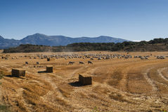 Sheeps at pasture in Aragon Royalty Free Stock Images