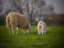 Sheeps on pasture on farm Stock Photos