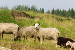 Sheeps on a pasture. Flock of sheeps grazing on a pasture in sunny day Royalty Free Stock Photography