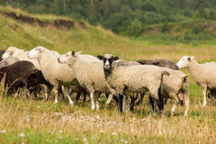 Sheeps on a pasture. Flock of sheeps grazing on a pasture in sunny day Stock Images