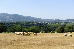 Sheeps at pasture in Maremma Stock Image