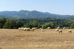 Sheeps at pasture in Maremma Stock Images