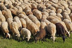 Sheeps at pasture in a meadow. Thick flock of sheeps at pasture in a meadow Royalty Free Stock Photos