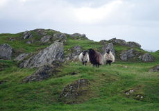 Sheeps at a pasture in norway Royalty Free Stock Photos