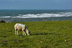 Sheeps in the pasture over the English Channel Stock Image