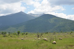 Sheeps on pasture Stock Photography