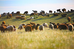 Sheeps in the pasture during sunset Stock Photo