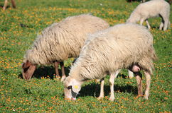 Sheeps in a pasture Royalty Free Stock Images