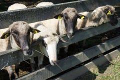 Sheeps in pennen royalty-vrije stock foto's