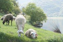 Sheeps perto do lago Fotografia de Stock